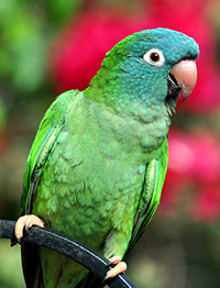 "Gulfport Blue ""Blue-crowned Conure"""